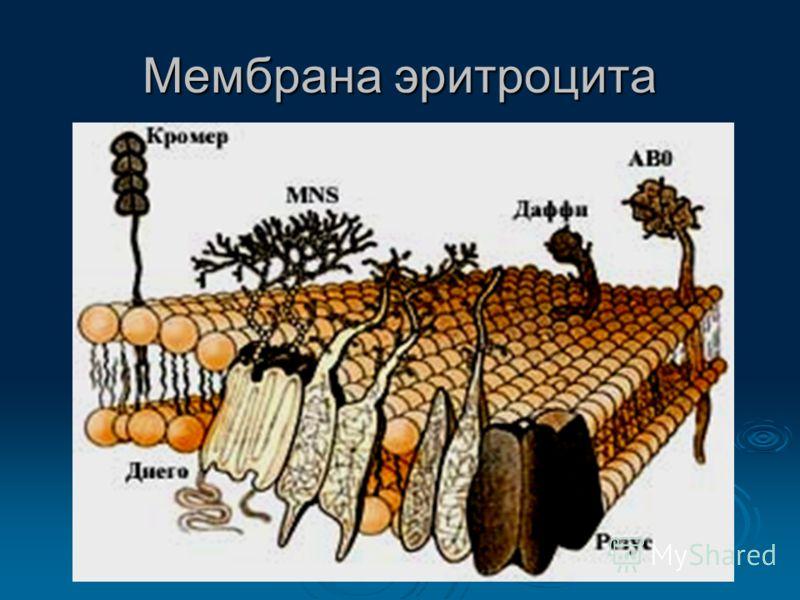 Мембрана эритроцита
