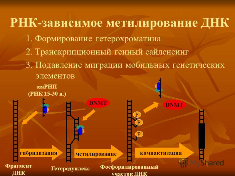 РНК-зависимое метилирование ДНК 1. Формирование гетерохроматина 2. Транскрипционный генный сайленсинг 3. Подавление миграции мобильных генетических элементов мяРНП (РНК 15-30 н.) Фрагмент ДНК гибридизация Гетеродуплекс DNMT метилирование Р Р Р компак