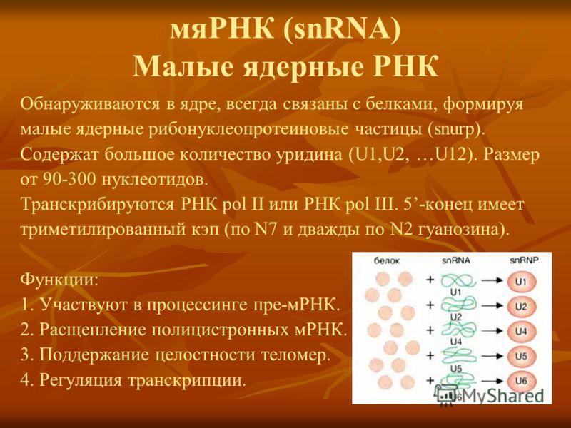 мяРНК (snRNA) Малые ядерные РНК Обнаруживаются в ядре, всегда связаны с белками, формируя малые ядерные рибонуклеопротеиновые частицы (snurp). Содержат большое количество уридина (U1,U2, …U12). Размер от 90-300 нуклеотидов. Транскрибируются РНК pol I