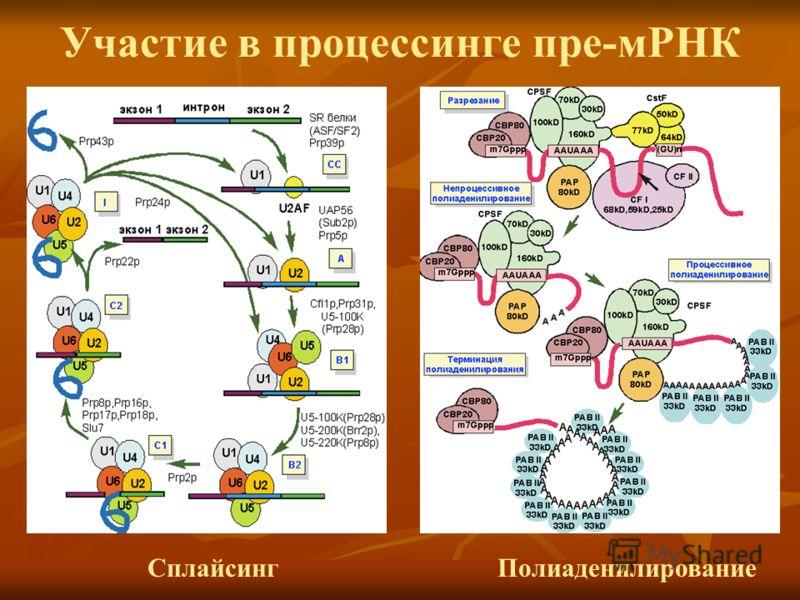 Участие в процессинге пре-мРНК Полиаденилирование Сплайсинг