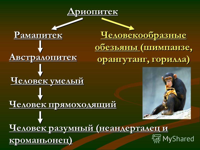 Дриопитек Рамапитек Австралопитек Человек умелый Человек прямоходящий Человек разумный (неандерталец и кроманьонец) Человекообразные обезьяны (шимпанзе, орангутанг, горилла)