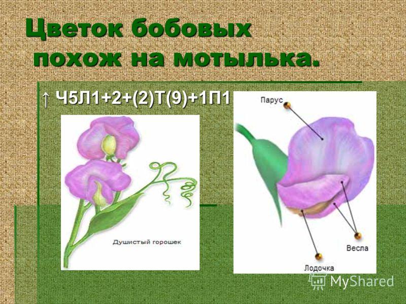Цветок бобовых похож на мотылька. Ч5Л1+2+(2)Т(9)+1П1 Ч5Л1+2+(2)Т(9)+1П1
