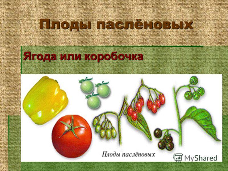 Плоды паслёновых Ягода или коробочка