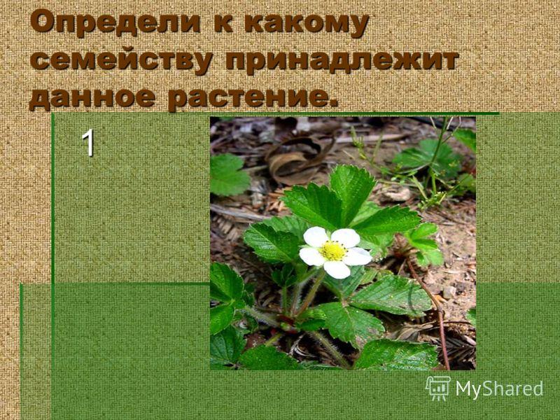 Определи к какому семейству принадлежит данное растение. 1
