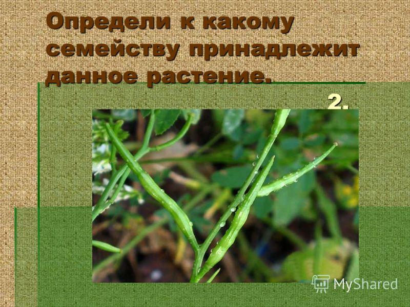 Определи к какому семейству принадлежит данное растение. 2.