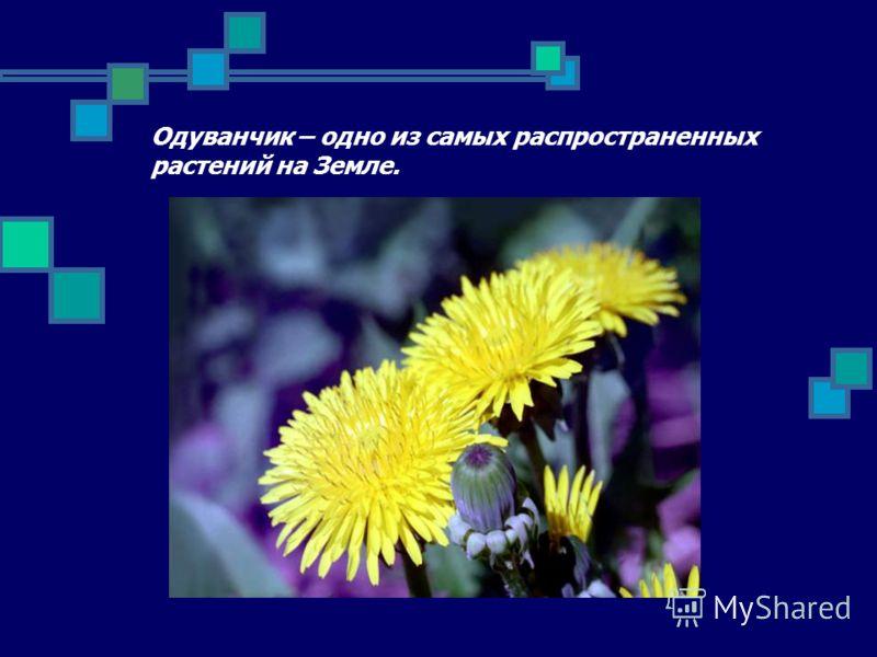 Одуванчик – одно из самых распространенных растений на Земле.