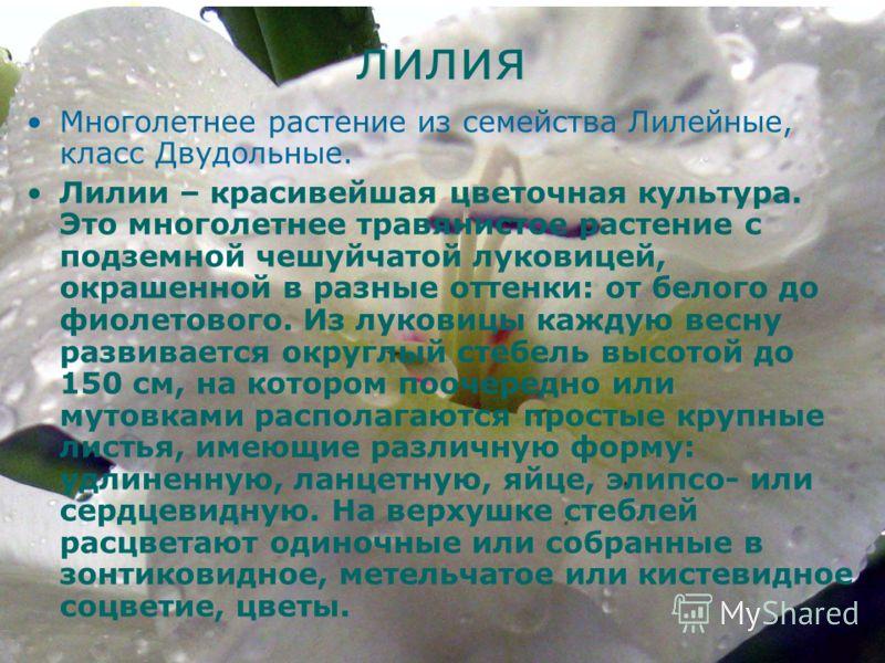 лилия Многолетнее растение из семейства Лилейные, класс Двудольные. Лилии – красивейшая цветочная культура. Это многолетнее травянистое растение с подземной чешуйчатой луковицей, окрашенной в разные оттенки: от белого до фиолетового. Из луковицы кажд