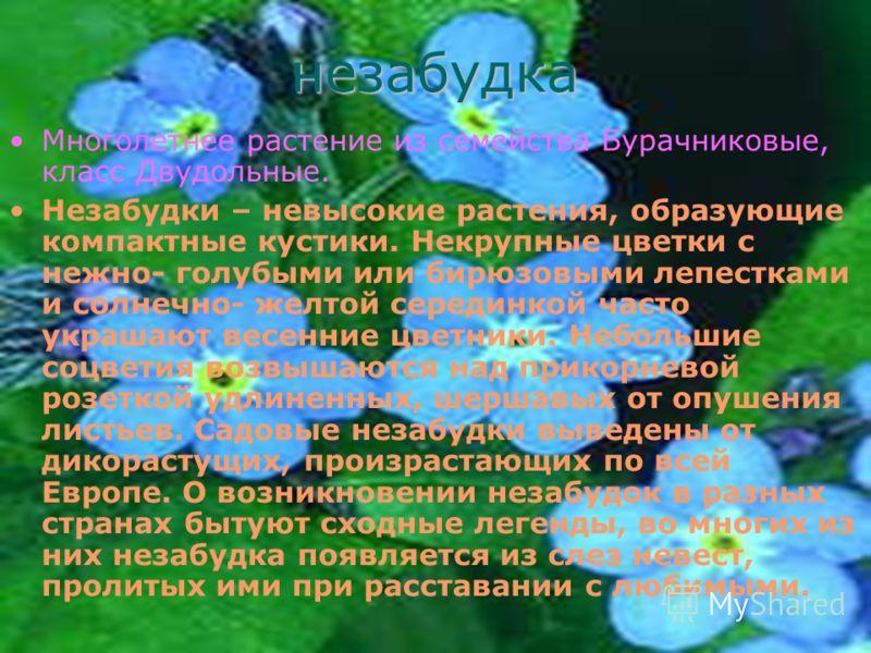 незабудка Многолетнее растение из семейства Бурачниковые, класс Двудольные. Незабудки – невысокие растения, образующие компактные кустики. Некрупные цветки с нежно- голубыми или бирюзовыми лепестками и солнечно- желтой серединкой часто украшают весен