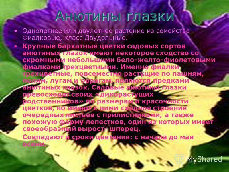 Анютины глазки Однолетнее или двулетнее растение из семейства Фиалковые, класс Двудольные. Крупные бархатные цветки садовых сортов анютиных глазок имеют некоторое сходство со скромными небольшими бело-желто-фиолетовыми фиалками трехцветными. Именно ф