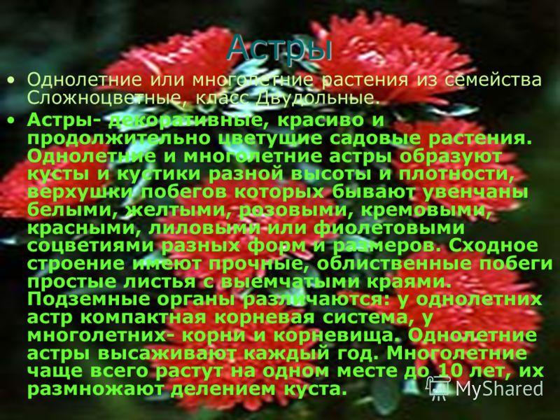 Астры Однолетние или многолетние растения из семейства Сложноцветные, класс Двудольные. Астры- декоративные, красиво и продолжительно цветущие садовые растения. Однолетние и многолетние астры образуют кусты и кустики разной высоты и плотности, верхуш