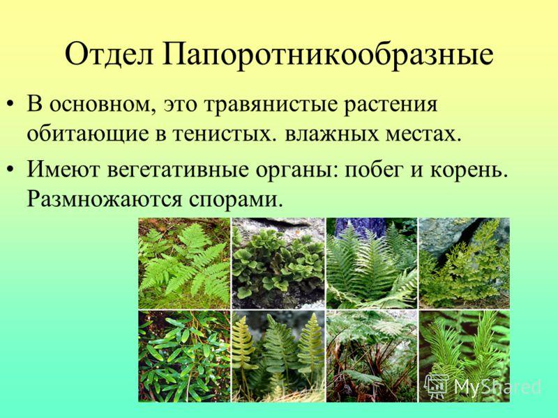 Отдел Папоротникообразные В основном, это травянистые растения обитающие в тенистых. влажных местах. Имеют вегетативные органы: побег и корень. Размно
