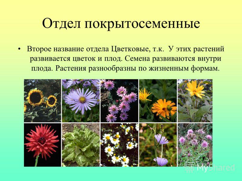 Отдел покрытосеменные Второе название отдела Цветковые, т.к. У этих растений развивается цветок и плод. Семена развиваются внутри плода. Растения разнообразны по жизненным формам.