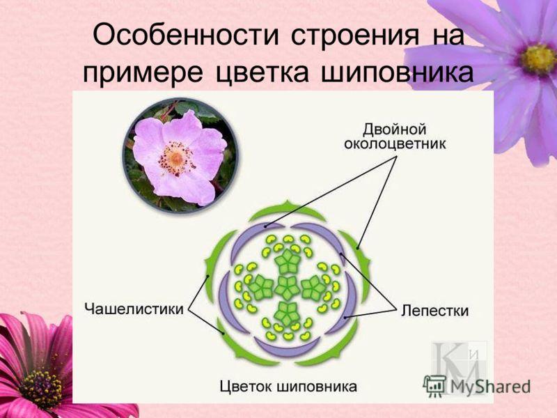 Особенности строения на примере цветка шиповника
