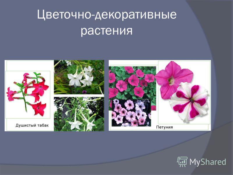 Цветочно-декоративные растения