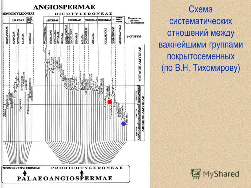 Cхема систематических отношений между важнейшими группами покрытосеменных (по В.Н. Тихомирову)