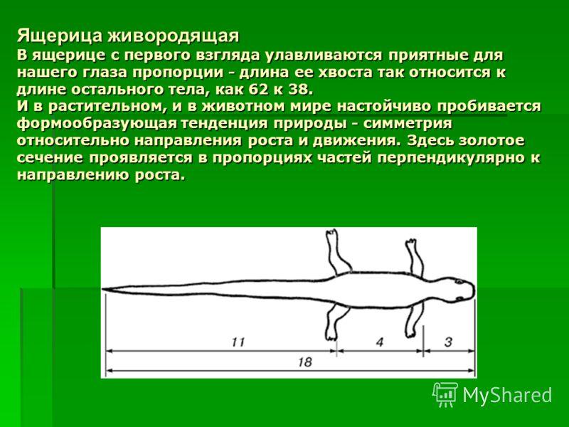 Ящерица живородящая В ящерице с первого взгляда улавливаются приятные для нашего глаза пропорции - длина ее хвоста так относится к длине остального тела, как 62 к 38. И в растительном, и в животном мире настойчиво пробивается формообразующая тенденци
