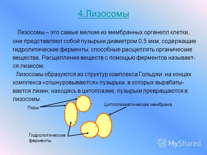 4.Лизосомы Лизосомы – это самые мелкие из мембранных органелл клетки, они представляют собой пузырьки диаметром 0,5 мкм, содержащие гидролитические ферменты, способные расщеплять органические вещества. Расщепление веществ с помощью ферментов называет