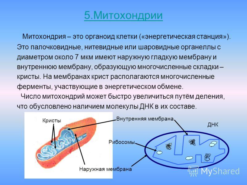5.Митохондрии Митохондрия – это органоид клетки («энергетическая станция»). Это палочковидные, нитевидные или шаровидные органеллы с диаметром около 7 мкм имеют наружную гладкую мембрану и внутреннюю мембрану, образующую многочисленные складки – крис