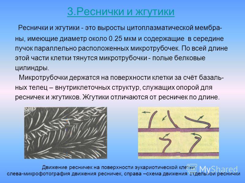 3.Реснички и жгутики Реснички и жгутики - это выросты цитоплазматической мембра- ны, имеющие диаметр около 0.25 мкм и содержащие в середине пучок параллельно расположенных микротрубочек. По всей длине этой части клетки тянутся микротрубочки - полые б