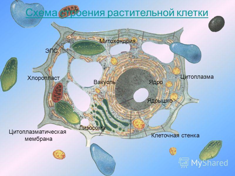 Схема строения растительной клетки Ядро Ядрышко Вакуоль Хлоропласт Митохондрия Лизосома Цитоплазматическая мембрана Клеточная стенка Цитоплазма ЭПС