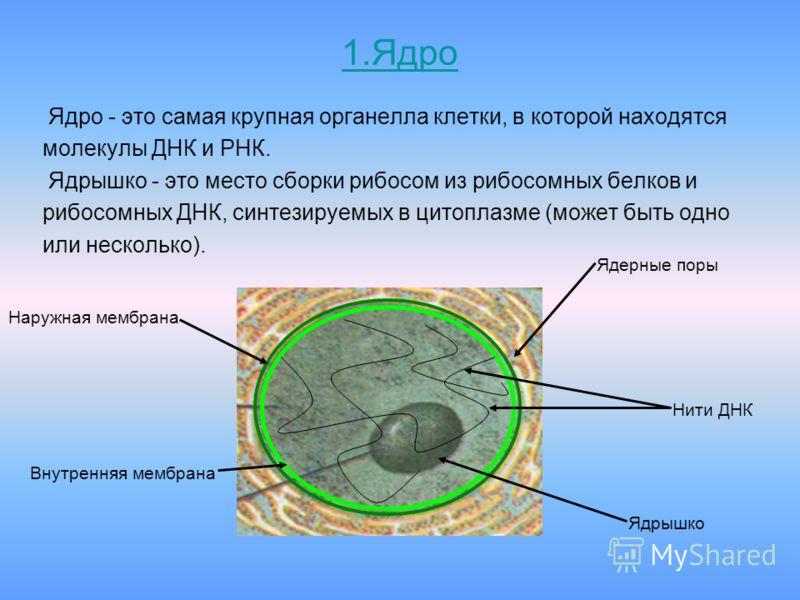 1.Ядро Ядро - это самая крупная органелла клетки, в которой находятся молекулы ДНК и РНК. Ядрышко - это место сборки рибосом из рибосомных белков и рибосомных ДНК, синтезируемых в цитоплазме (может быть одно или несколько). Наружная мембрана Внутренн