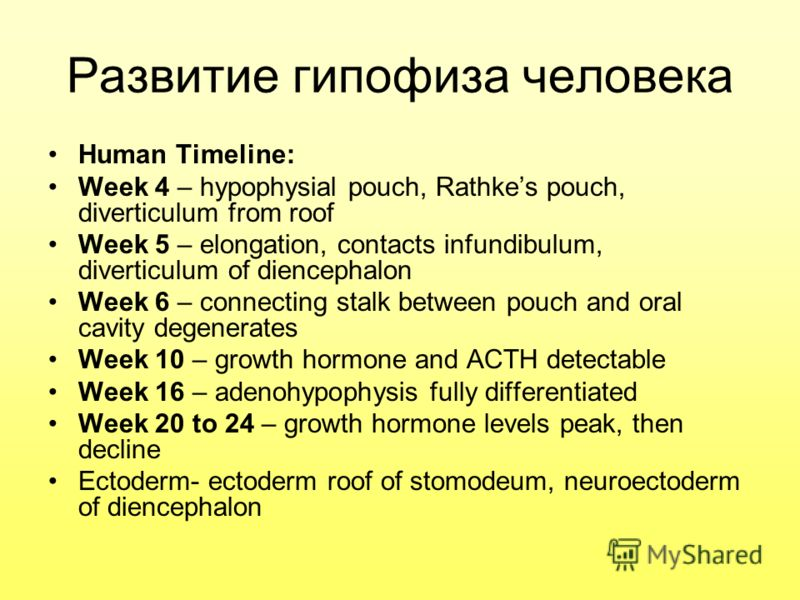 Развитие гипофиза человека Human Timeline: Week 4 – hypophysial pouch, Rathkes pouch, diverticulum from roof Week 5 – elongation, contacts infundibulum, diverticulum of diencephalon Week 6 – connecting stalk between pouch and oral cavity degenerates