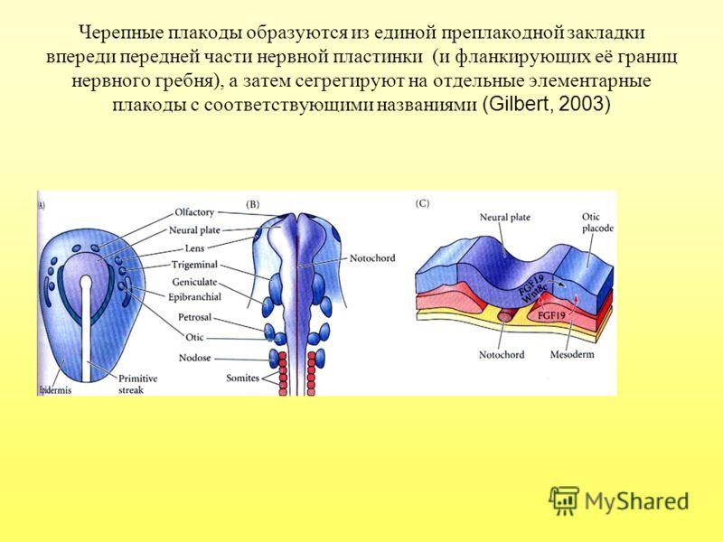 Черепные плакоды образуются из единой преплакодной закладки впереди передней части нервной пластинки (и фланкирующих её границ нервного гребня), а затем сегрегируют на отдельные элементарные плакоды с соответствующими названиями (Gilbert, 2003)
