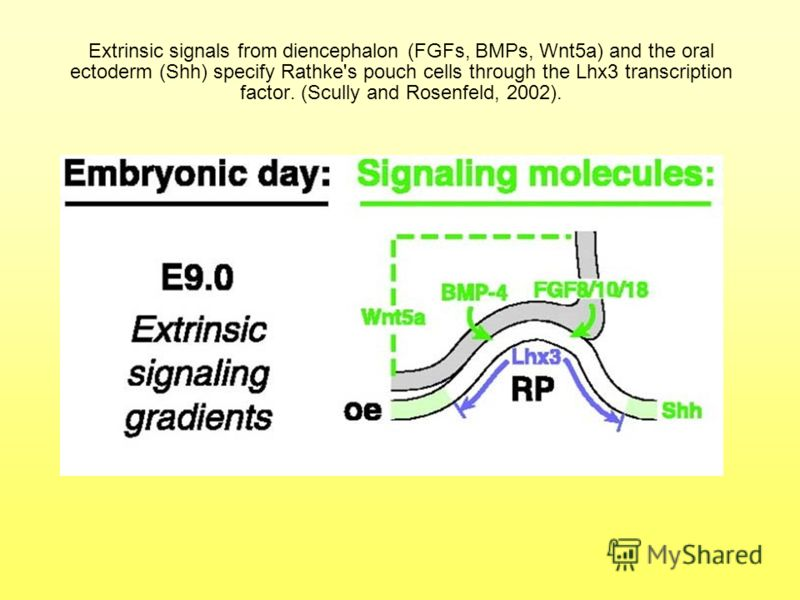 Extrinsic signals from diencephalon (FGFs, BMPs, Wnt5a) and the oral ectoderm (Shh) specify Rathke's pouch cells through the Lhx3 transcription factor. (Scully and Rosenfeld, 2002).