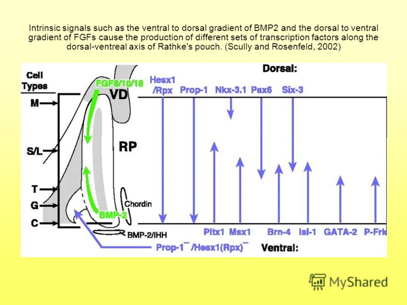 Intrinsic signals such as the ventral to dorsal gradient of BMP2 and the dorsal to ventral gradient of FGFs cause the production of different sets of transcription factors along the dorsal-ventreal axis of Rathke's pouch. (Scully and Rosenfeld, 2002)
