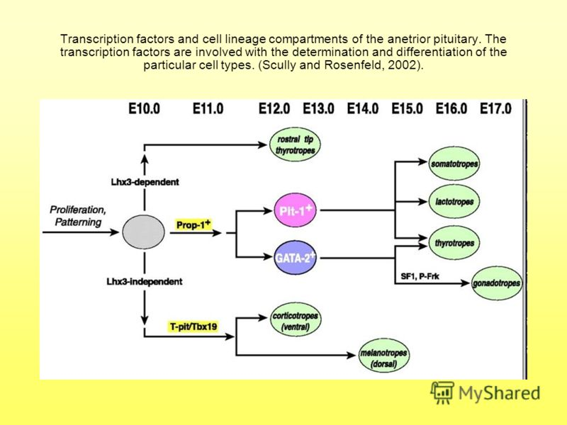 Transcription factors and cell lineage compartments of the anetrior pituitary. The transcription factors are involved with the determination and differentiation of the particular cell types. (Scully and Rosenfeld, 2002).