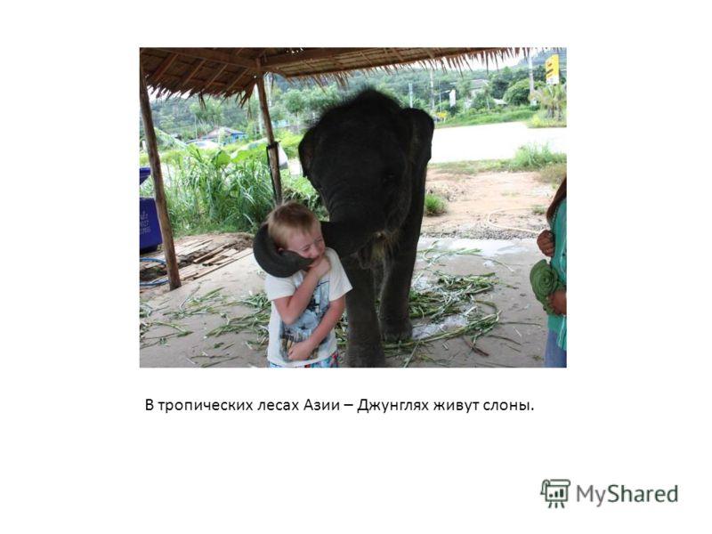 В тропических лесах Азии – Джунглях живут слоны.