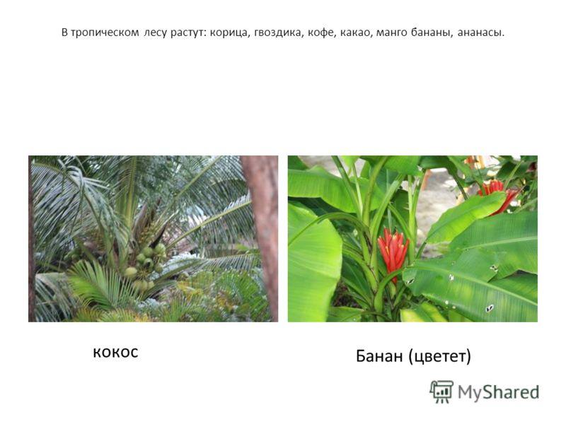 В тропическом лесу растут: корица, гвоздика, кофе, какао, манго бананы, ананасы. кокос Банан (цветет)