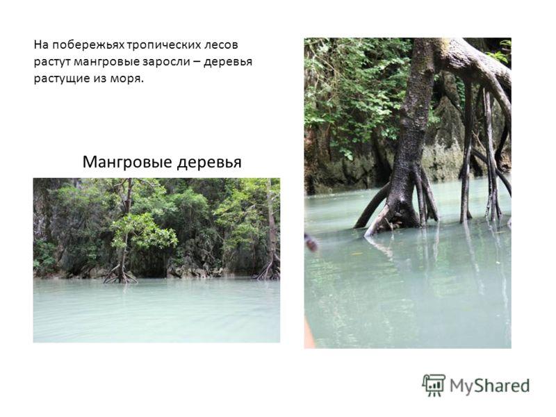 На побережьях тропических лесов растут мангровые заросли – деревья растущие из моря. Мангровые деревья