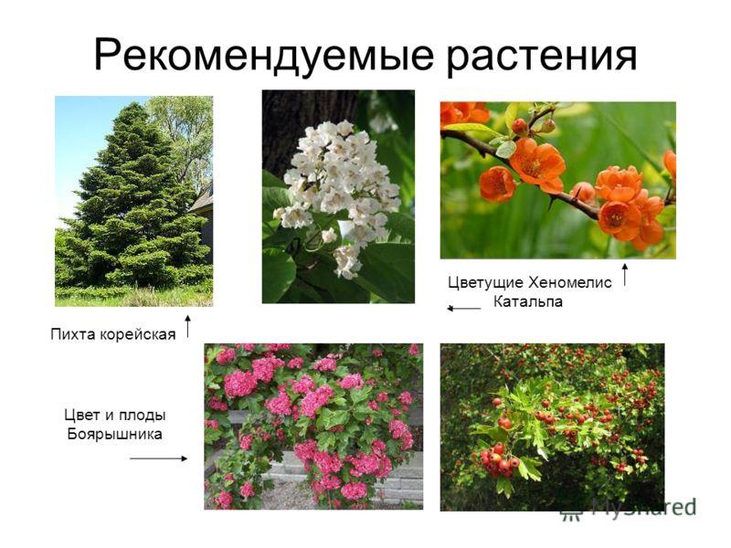 Рекомендуемые растения Пихта корейская Цветущие Хеномелис. Катальпа Цвет и плоды Боярышника