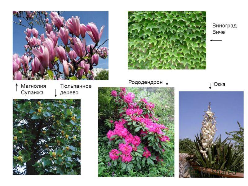 Магнолия Суланжа Тюльпанное дерево Рододендрон Виноград Виче Юкка