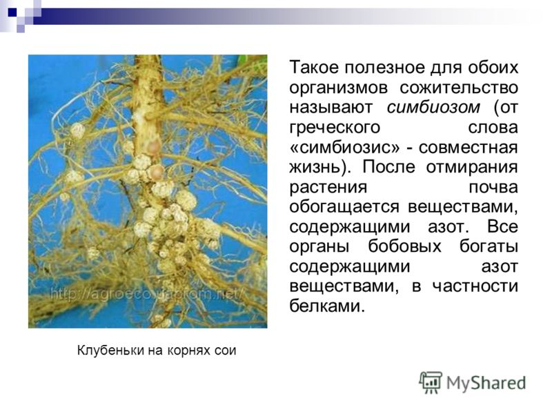 Такое полезное для обоих организмов сожительство называют симбиозом (от греческого слова «симбиозис» - совместная жизнь). После отмирания растения почва обогащается веществами, содержащими азот. Все органы бобовыx богаты содержащими азот веществами,