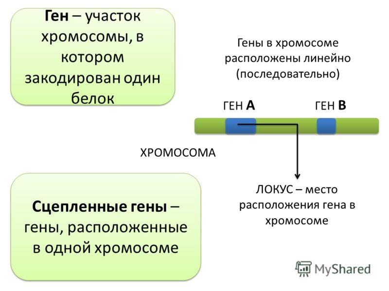 ХРОМОСОМА ГЕН А ГЕН В Гены в хромосоме расположены линейно (последовательно) Сцепленные гены – гены, расположенные в одной хромосоме Ген – участок хромосомы, в котором закодирован один белок ЛОКУС – место расположения гена в хромосоме