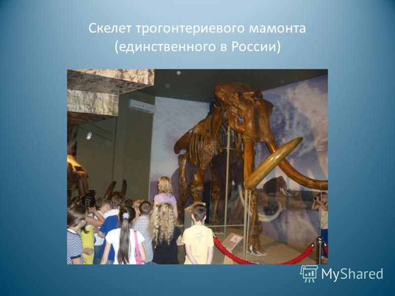 Скелет трогонтериевого мамонта (единственного в России)