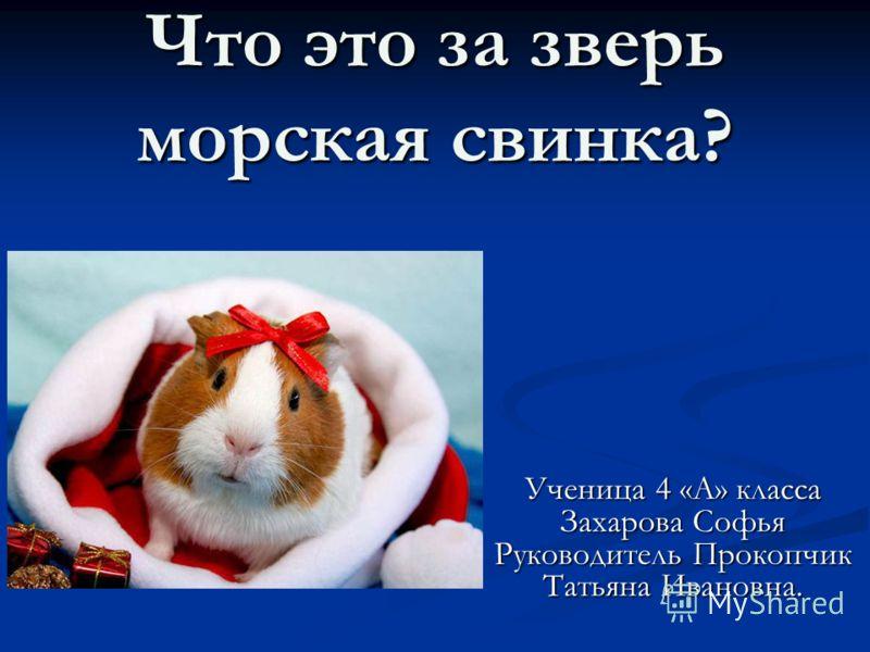 Что это за зверь морская свинка? Ученица 4 «А» класса Захарова Софья Руководитель Прокопчик Татьяна Ивановна.