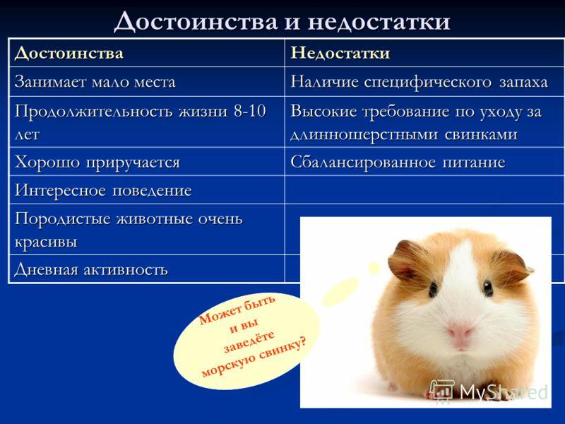 Достоинства и недостатки ДостоинстваНедостатки Занимает мало места Наличие специфического запаха Продолжительность жизни 8-10 лет Высокие требование по уходу за длинношерстными свинками Хорошо приручается Сбалансированное питание Интересное поведение