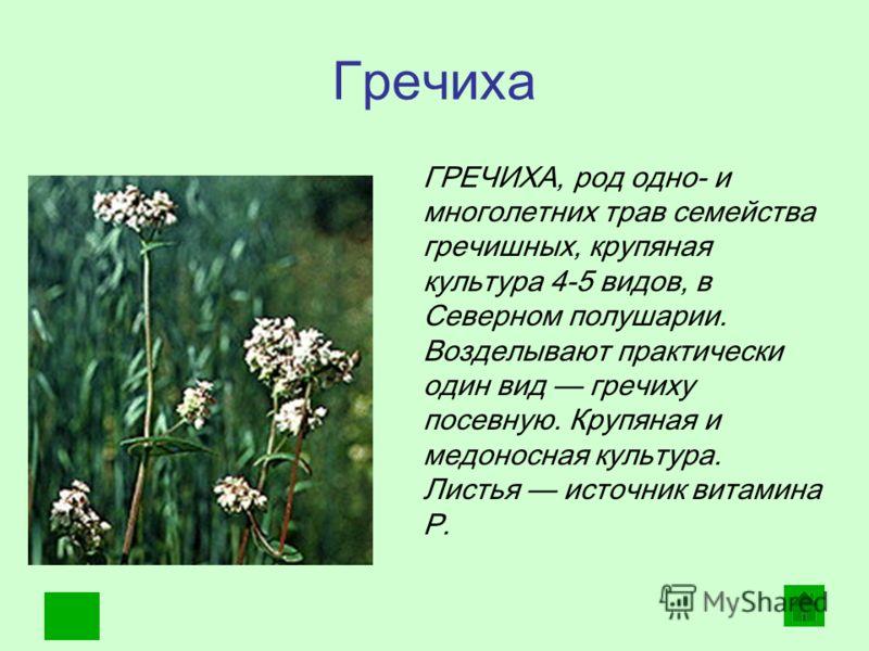 Гречиха. ГРЕЧИХА, род одно- и многолетних трав семейства гречишных, крупяная культура 4-5 видов, в Северном полушарии. Возделывают практически один вид гречиху посевную. Крупяная и медоносная культура. Листья источник витамина Р.