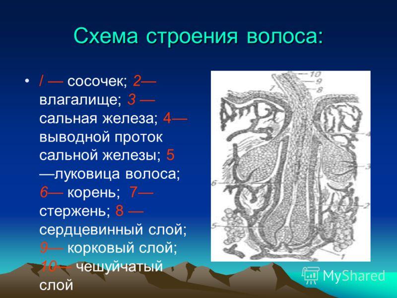 Схема строения волоса: / сосочек; 2 влагалище; 3 сальная железа; 4 выводной проток сальной железы; 5 луковица волоса; 6 корень; 7 стержень; 8 сердцевинный слой; 9 корковый слой; 10 чешуйчатый слой