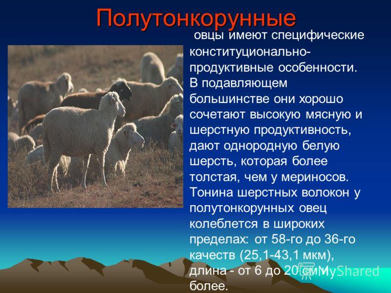 Полутонкорунные овцы имеют специфические конституционально- продуктивные особенности. В подавляющем большинстве они хорошо сочетают высокую мясную и шерстную продуктивность, дают однородную белую шерсть, которая более толстая, чем у мериносов. Тонина