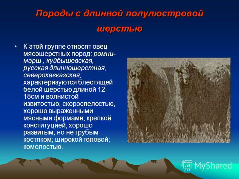 Породы с длинной полулюстровой шерстью К этой группе относят овец мясошерстных пород: ромни- марш, куйбышевская, русская длинношерстная, северокавказская; характеризуются блестящей белой шерстью длиной 12- 18см и волнистой извитостью, скороспелостью,