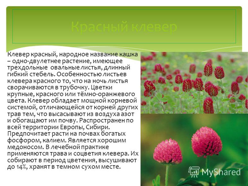 Клевер красный, народное название кашка – одно-двулетнее растение, имеющее трехдольные овальные листья, длинный гибкий стебель. Особенностью листьев клевера красного то, что на ночь листья сворачиваются в трубочку. Цветки крупные, красного или тёмно-