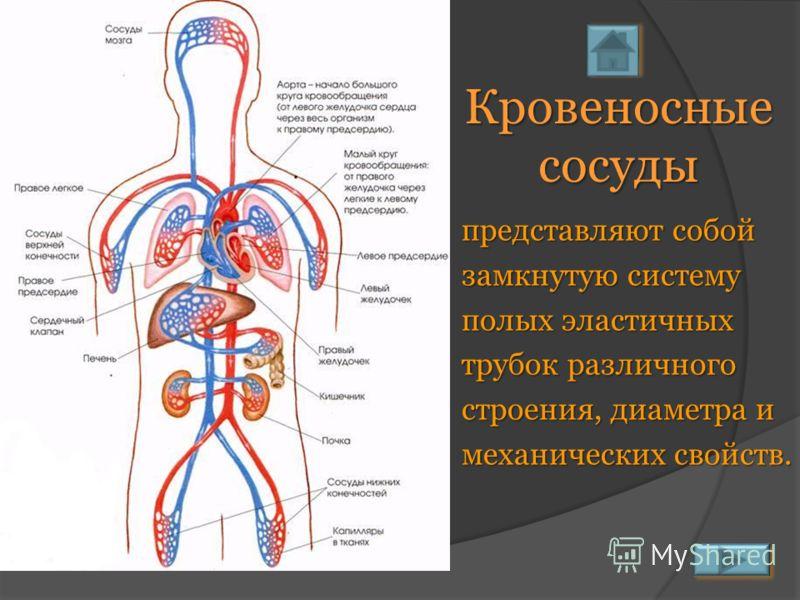 Кровеносные сосуды представляют собой замкнутую систему полых эластичных трубок различного строения, диаметра и механических свойств.
