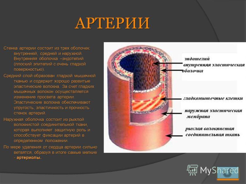 АРТЕРИИ Стенка артерии состоит из трех оболочек: внутренней, средней и наружной. Внутренняя оболочка –эндотелий (плоский эпителий с очень гладкой поверхностью). Средний слой образован гладкой мышечной тканью и содержит хорошо развитые эластические во