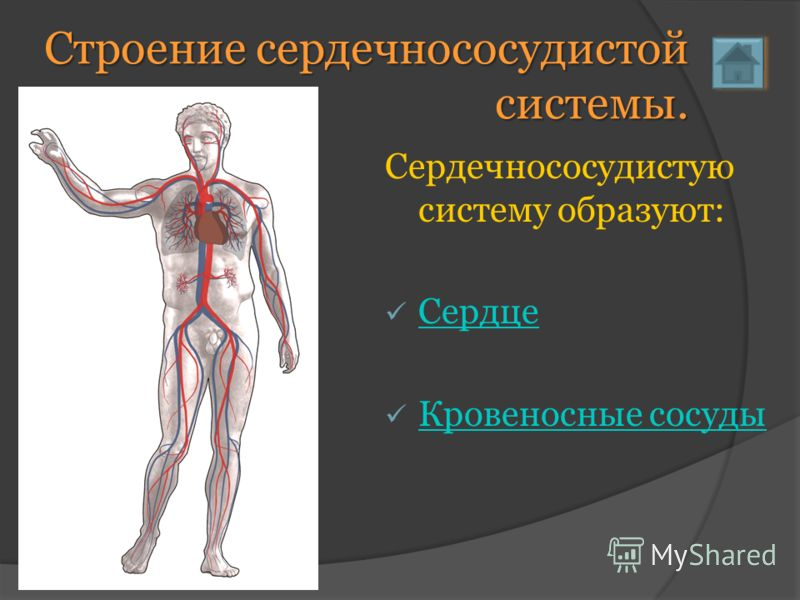 Строение сердечнососудистой системы. Сердечнососудистую систему образуют: Сердце Кровеносные сосуды