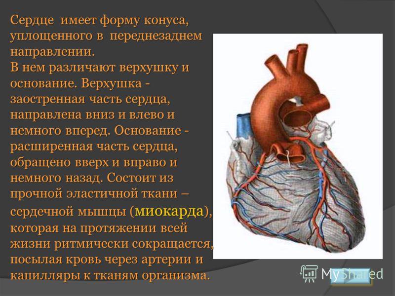 Сердце имеет форму конуса, уплощенного в переднезаднем направлении. В нем различают верхушку и основание. Верхушка - заостренная часть сердца, направлена вниз и влево и немного вперед. Основание - расширенная часть сердца, обращено вверх и вправо и н