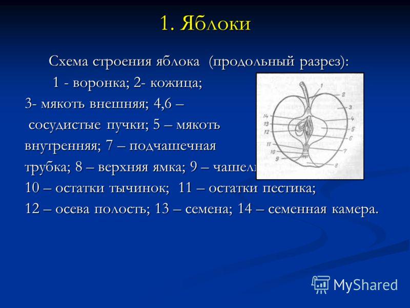 1. Яблоки Схема строения яблока (продольный разрез): Схема строения яблока (продольный разрез): 1 - воронка; 2- кожица; 1 - воронка; 2- кожица; 3- мякоть внешняя; 4,6 – сосудистые пучки; 5 – мякоть сосудистые пучки; 5 – мякоть внутренняя; 7 – подчаше